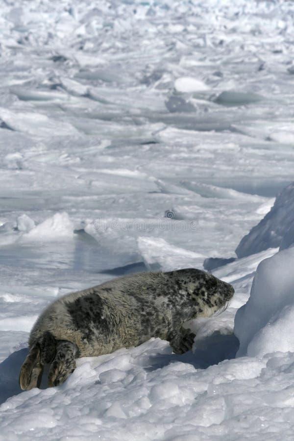 Download Grey Seal Royalty Free Stock Photos - Image: 10779128