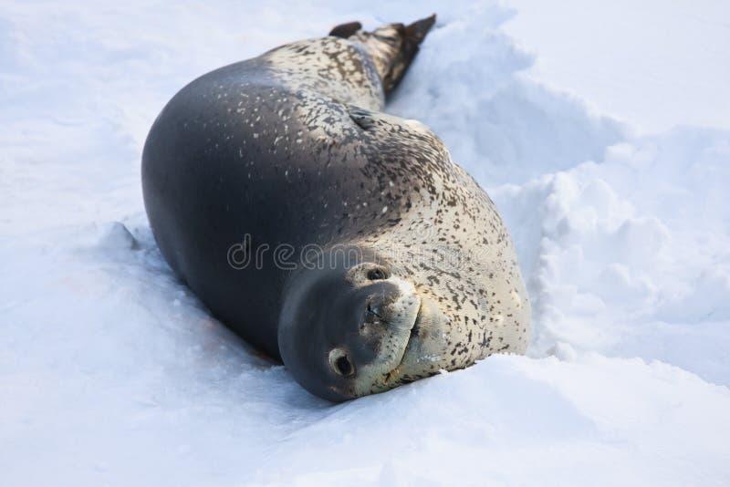 Download The grey seal stock photo. Image of cold, polar, macro - 17127512