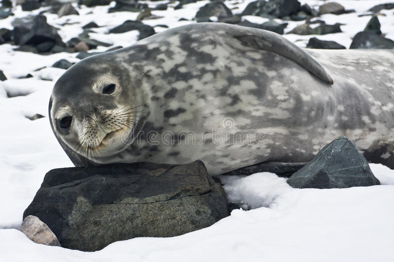 Download The Grey Seal Stock Photo - Image: 18299790