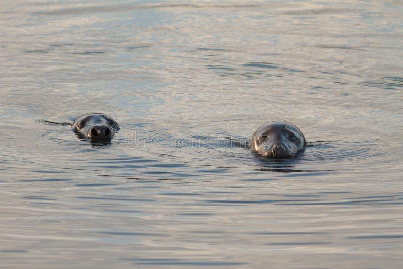 Grey Seal stock foto's