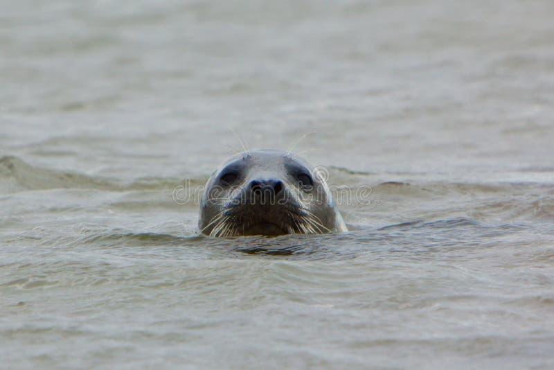 Grey Seal avec en surface principal photos stock