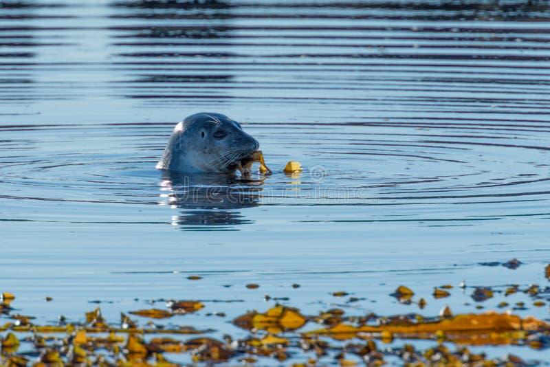 Grey Seal che gioca con un'alga vicino a Hvammstangi, Islanda del nord fotografia stock libera da diritti