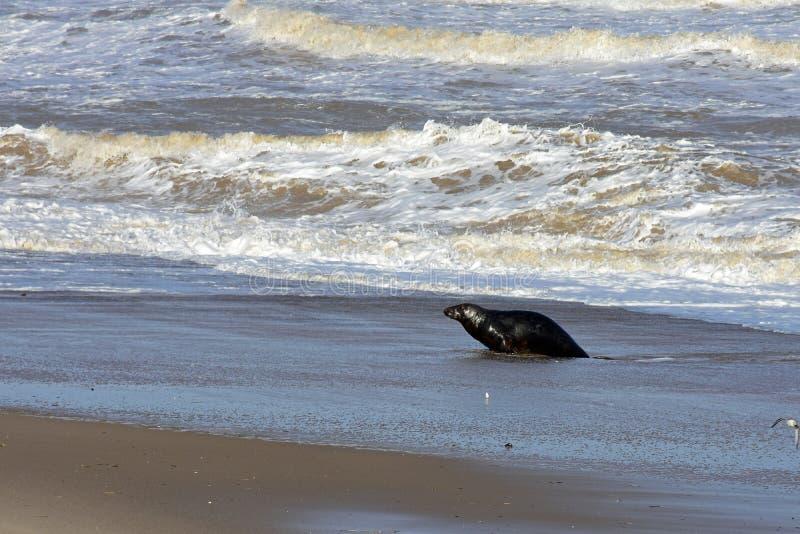 Grey Seal Coming Ashore, Horsey, Norfolk, Engeland stock foto
