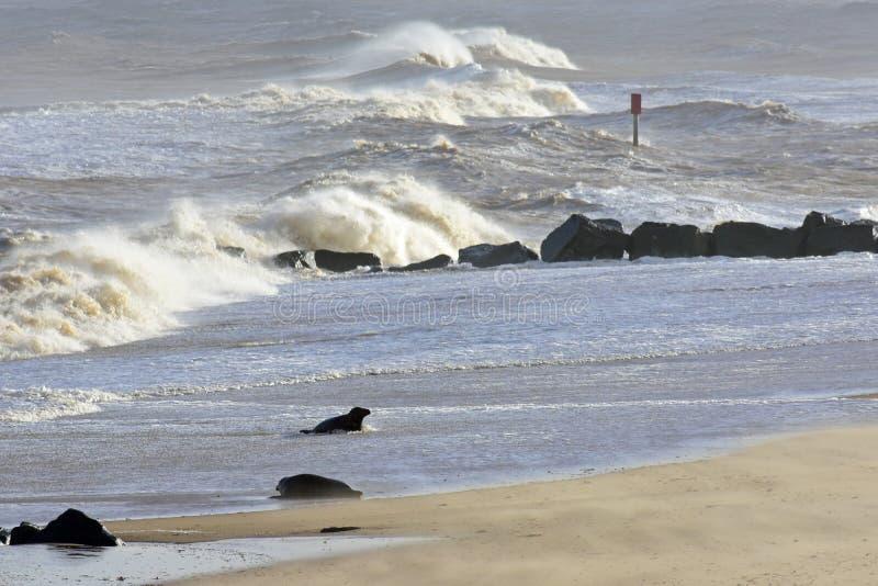 Grey Seal Coming Ashore, Horsey, Norfolk, Engeland royalty-vrije stock afbeeldingen