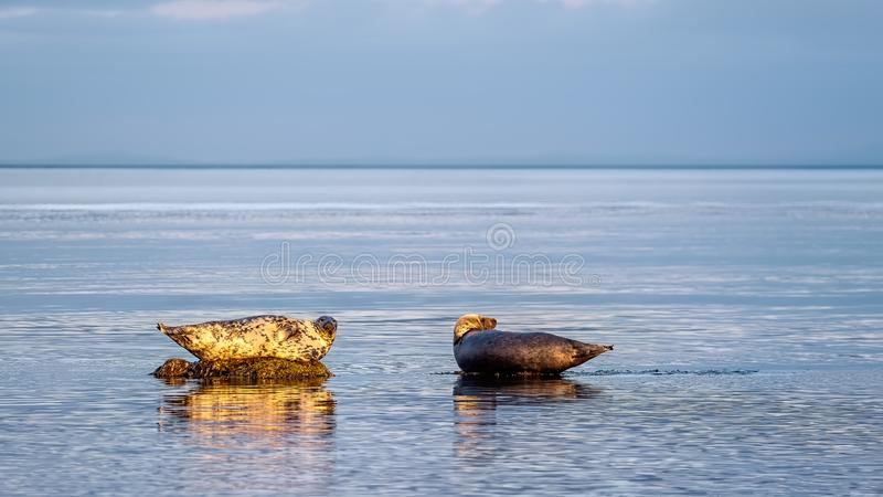A grey seal and a common seal lounging. On rocks in the Moray Firth enjoying quiet seas royalty free stock photography