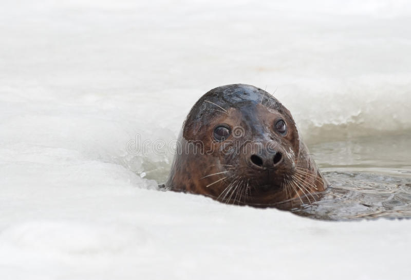 Download Grey seal stock photo. Image of grey, hole, halichoerus - 31867140