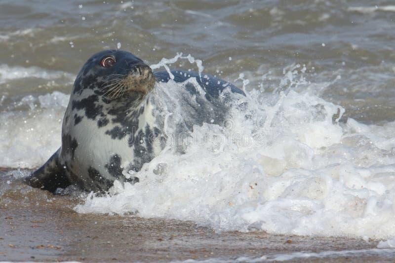 Grey Seal & x28; Halichoerus grypus& x29; het relazing op een strand in Horsey stock afbeeldingen