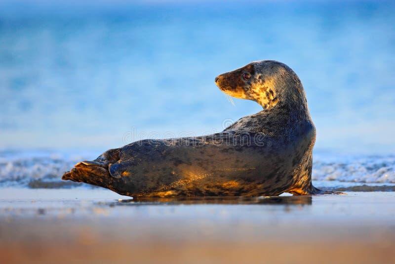 Grey Seal, halichoerus grypus, ritratto nell'acqua blu, onda nei precedenti, animale nell'habitat del mare della natura, s grigia fotografie stock