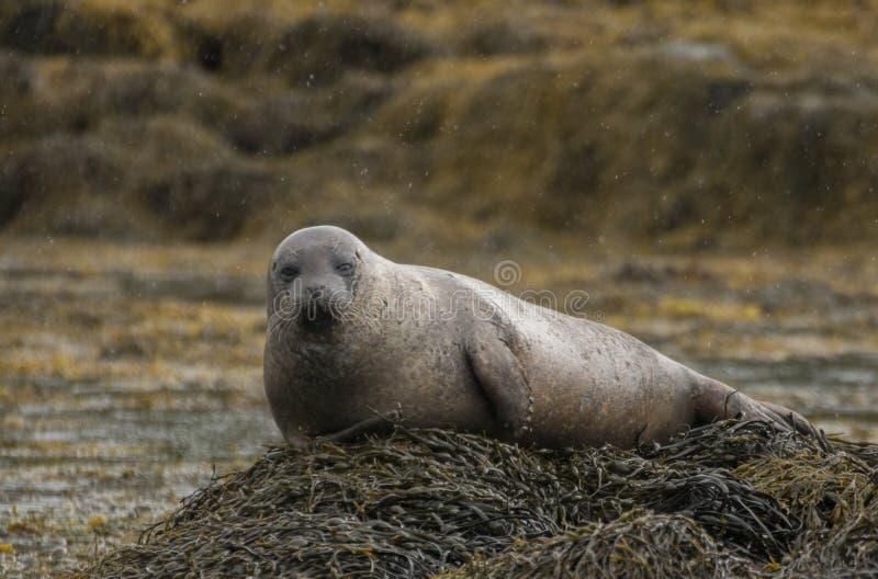 Grey seal royalty free stock photos