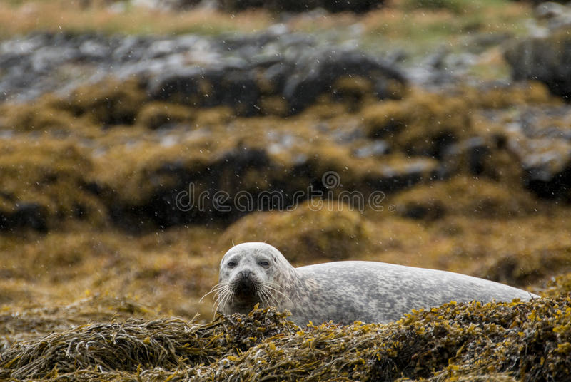 Grey seal royalty free stock image
