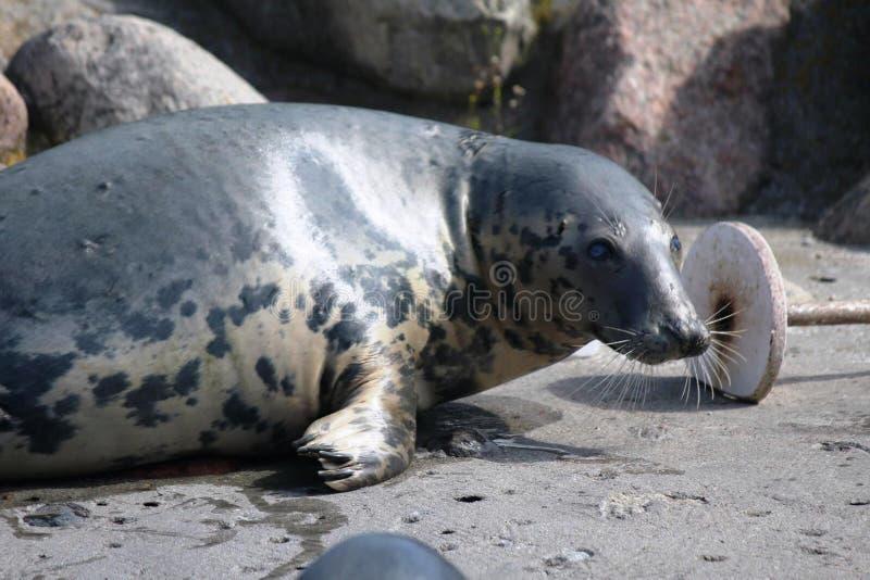 Grey Seal in het water stock afbeeldingen