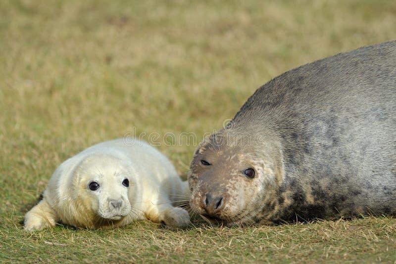 Grey Seal met jong royalty-vrije stock fotografie