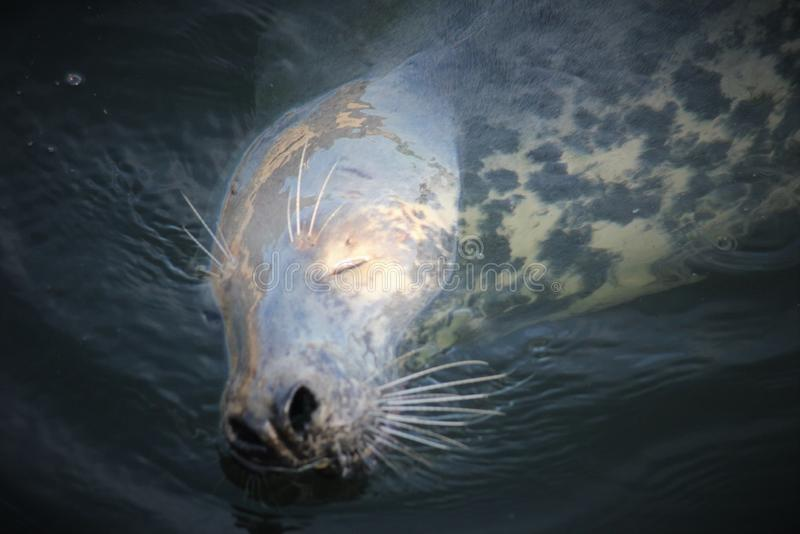 Grey Seal na água fotografia de stock royalty free