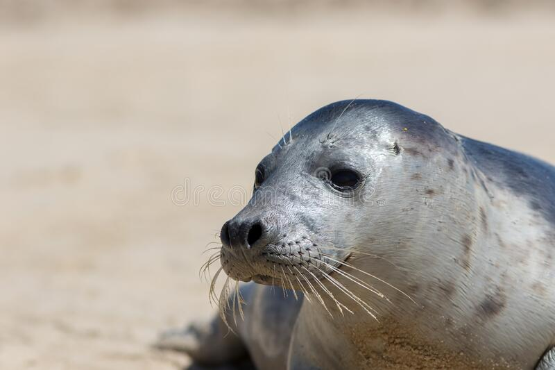 Grey seal portrait image. Wild gray seal face close-up royalty free stock images