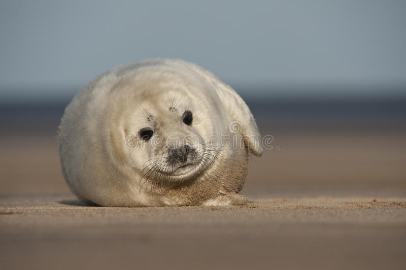 Download Grey Seal Pup stock image. Image of portrait, mammal - 25137797