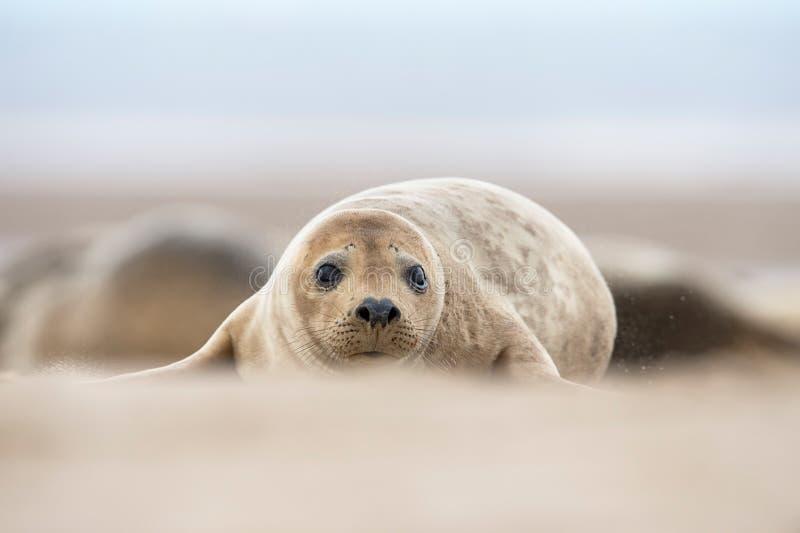 Grey Seal Pup atlantico (halichoerus grypus) fotografia stock