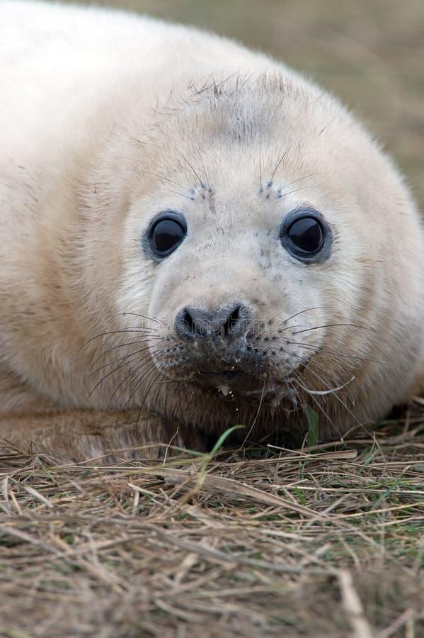 Grey Seal Pup atlantique (grypus de halichoerus) photographie stock libre de droits