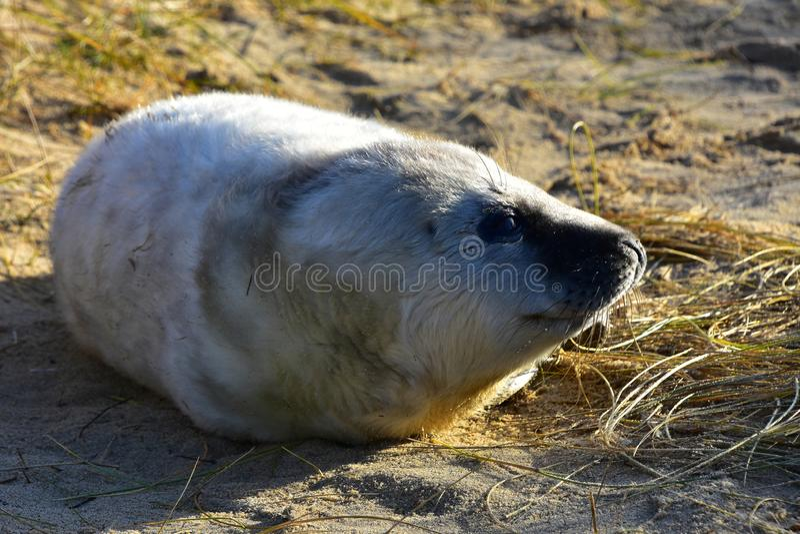 Grey Seal Pup, Horsey, Norfolk, Anglia zdjęcia royalty free