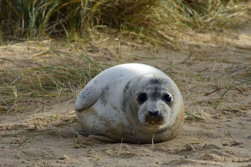 Grey Seal Pup, Horsey, Norfolk, Engeland royalty-vrije stock afbeelding