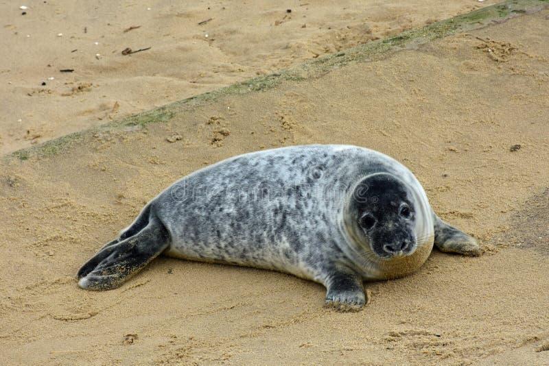 Grey Seal Pup, Horsey, Norfolk, Engeland royalty-vrije stock foto's