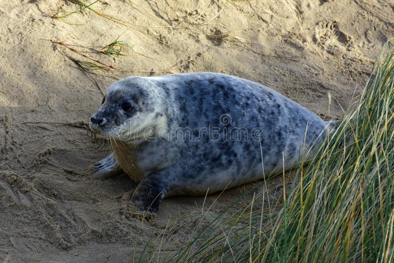 Grey Seal Pup, Horsey, Norfolk, Engeland royalty-vrije stock fotografie
