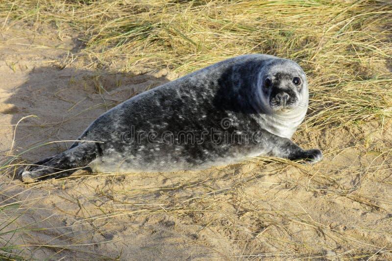 Grey Seal Pup, Horsey, Norfolk, Engeland stock foto