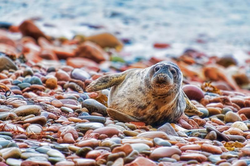 Grey seal pup on a rocky shore stock photo