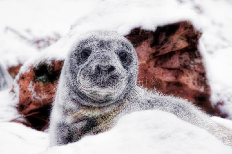 Grey seal pup lying in winter snow. Grey seal pup sheltering behind a large rock in winter snow royalty free stock photos