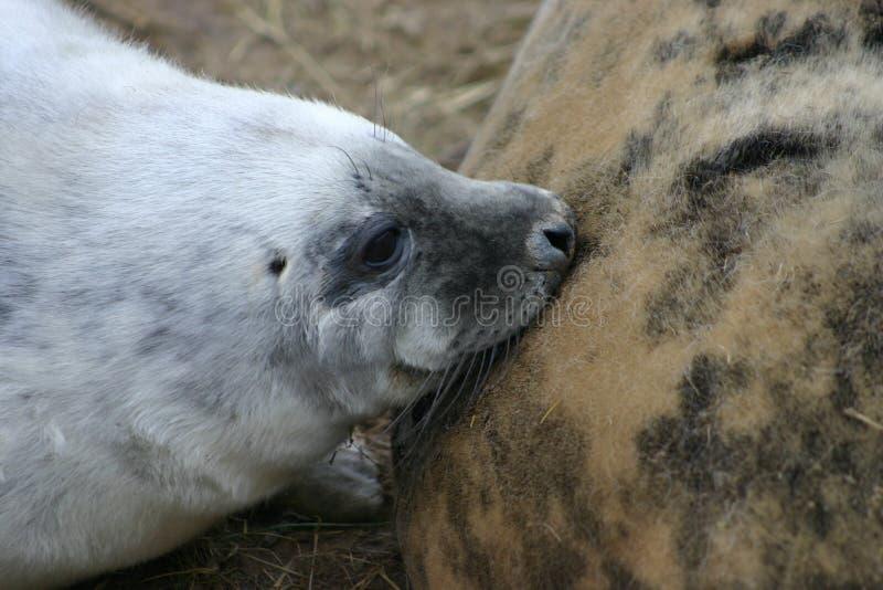 Grey Seal Pup Suckling fotografia de stock
