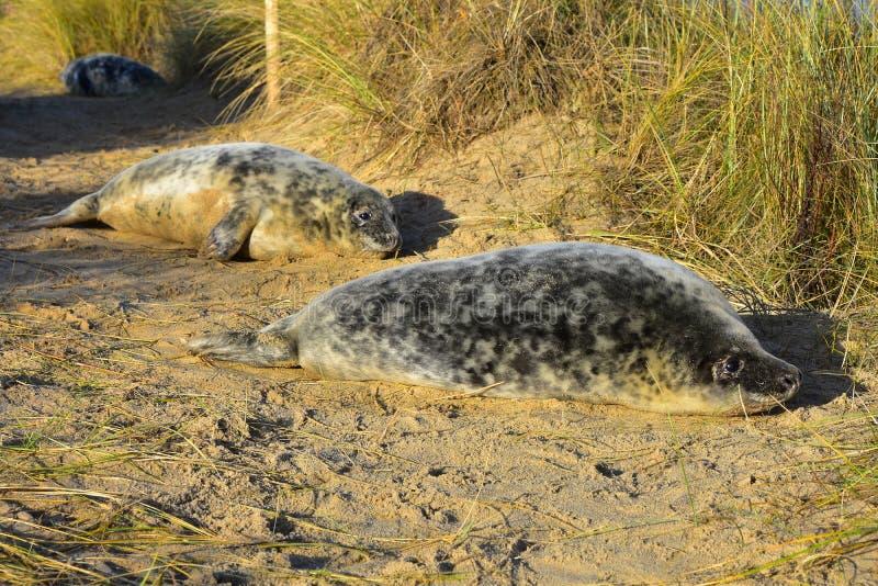 Grey Seal Pups, Horsey, Norfolk, Anglia fotografia royalty free