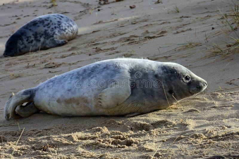 Grey Seal Pups, Horsey, Norfolk, Engeland stock afbeelding