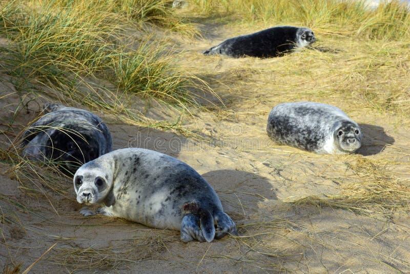 Grey Seal Pups, Horsey, Norfolk, Engeland stock afbeeldingen