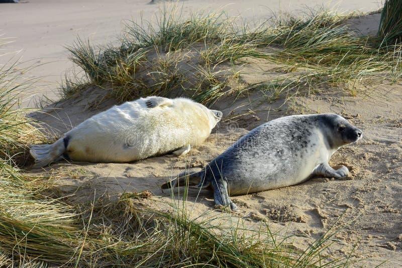 Grey Seal Pups, Horsey, Norfolk, Engeland stock fotografie