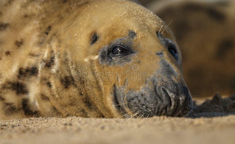 Grey Seal sovande på stranden fotografering för bildbyråer