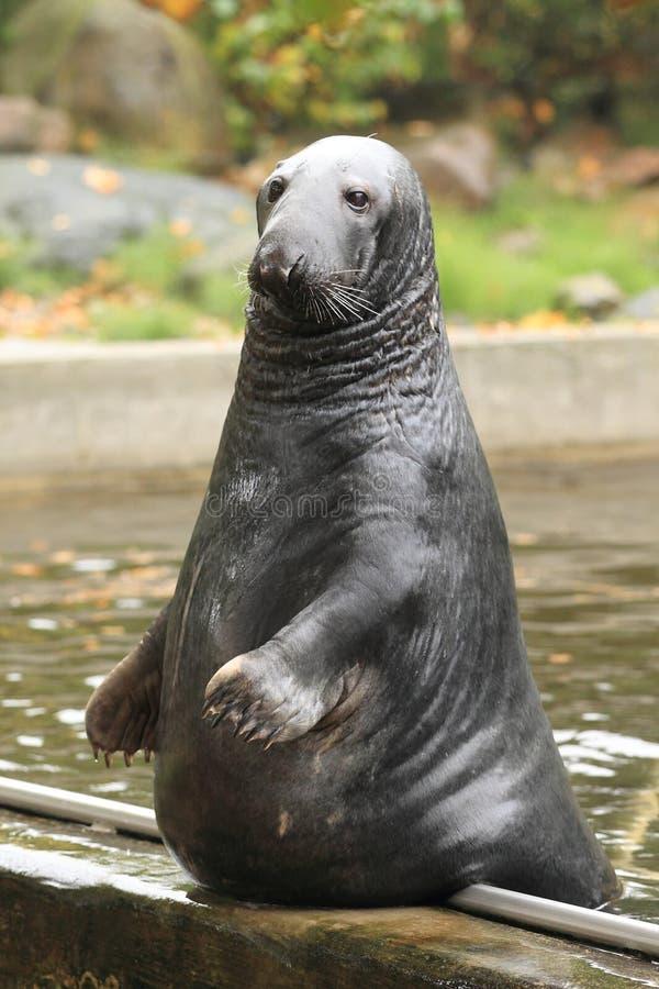 Grey Seal Royalty Free Stock Photography