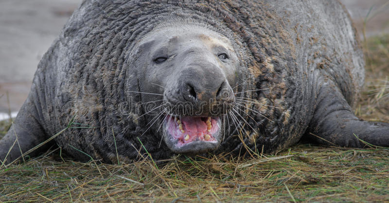 Grey Seal, Stier stockbild