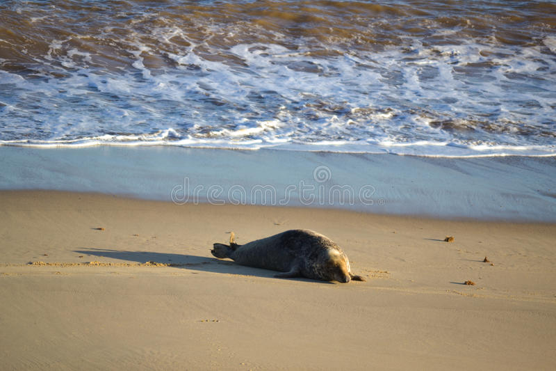 Grey Seal sur la plage photographie stock