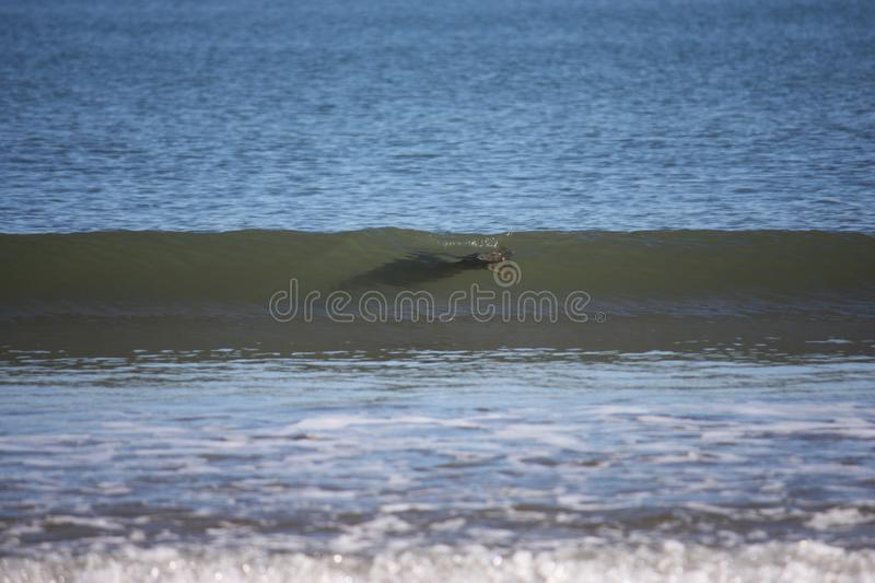 Grey seal surfing royalty free stock image