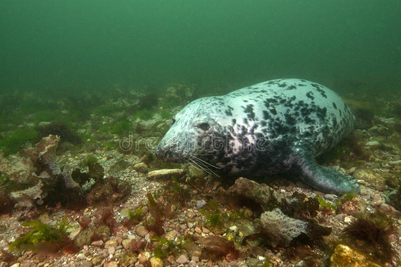 Grey seal underwater stock photo
