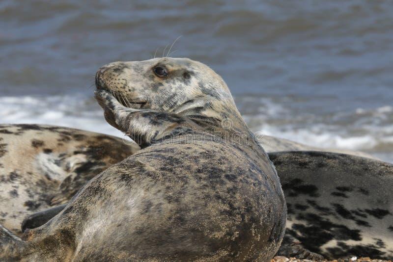 Grey Seal y x28; Grypus& x29 de Halichoerus; relajación en una playa en de caballo fotografía de archivo