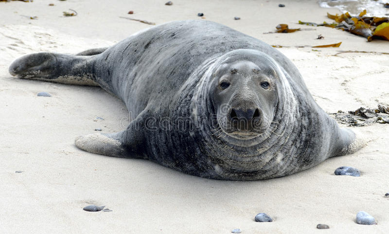 Grey Seals royalty-vrije stock fotografie