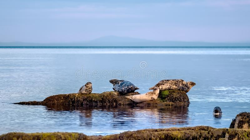 Seals enjoying quiet seas in the Highlands stock photos