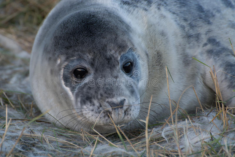 Grey Seals a Donna Nook fotografia stock