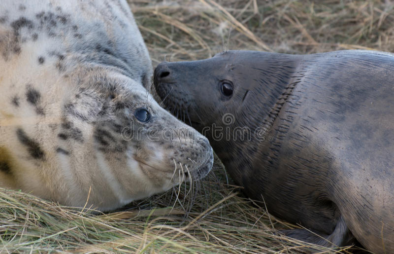 Grey Seals a Donna Nook immagini stock