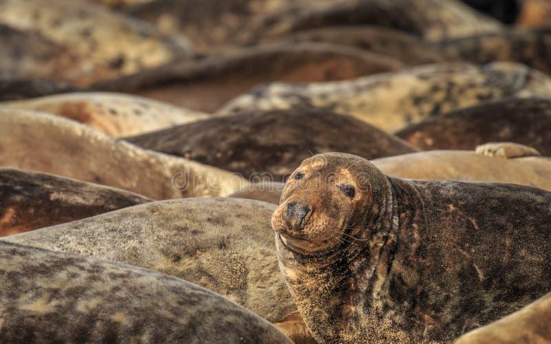 Grey Seals on Horsey Gap Beach, Norfolk. stock photos