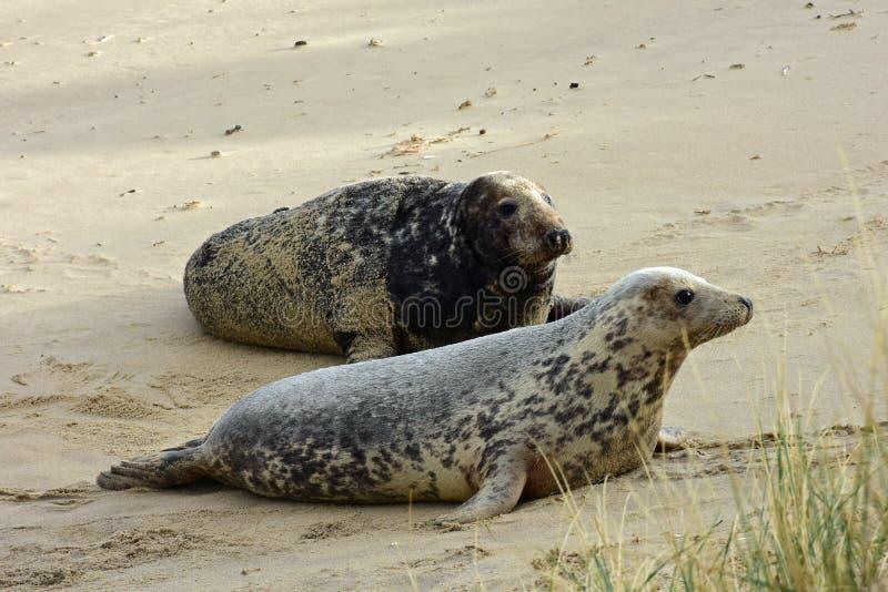 Grey Seals, Horsey, Norfolk, Engeland stock fotografie