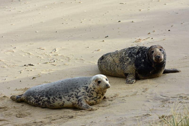 Grey Seals, Horsey, Norfolk, Engeland stock foto's