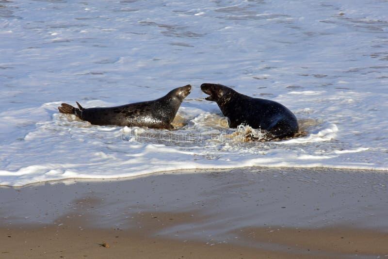 Grey Seals Playing, Horsey, Norfolk, Engeland royalty-vrije stock foto's