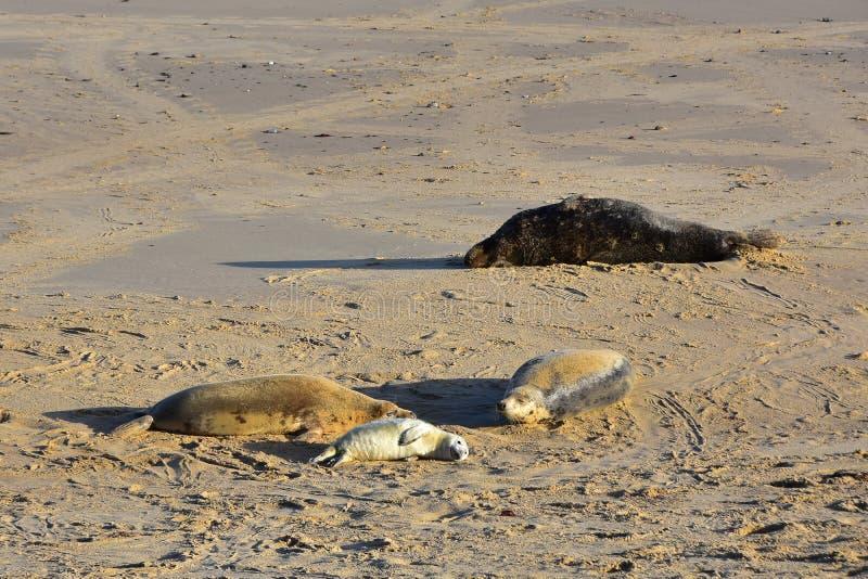 Grey Seals and Pup, Horsey, Norfolk, Anglia obraz royalty free