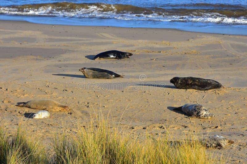 Grey Seals and Pup, Horsey, Norfolk, Anglia zdjęcie stock